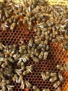 detailfoto van bijen op honingraten