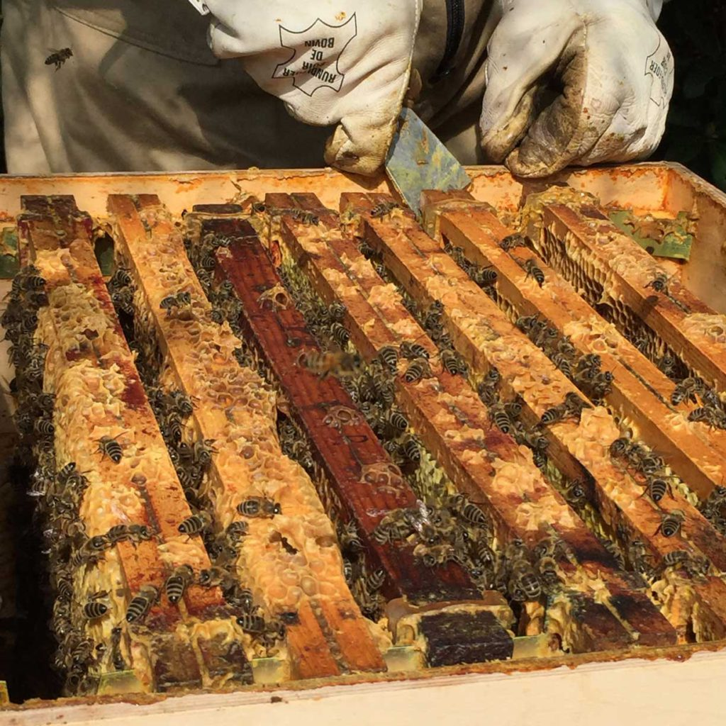 Imker verwijdert honingraten uit bijenkasten