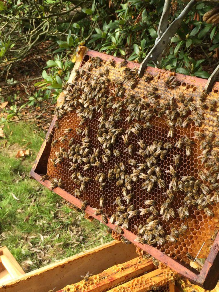 detail honingraat met bijen